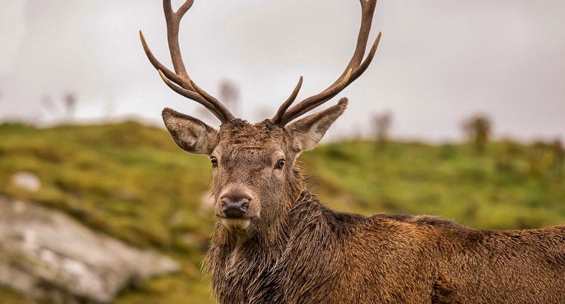 Red deer in the Highlands