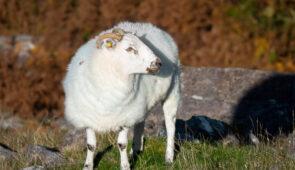 County Kerry sheep