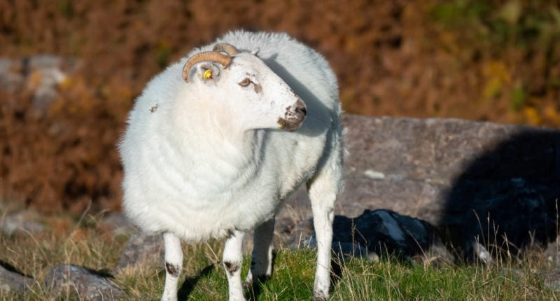 County Kerry sheep