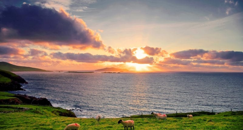 Sheep on the Dingle Way