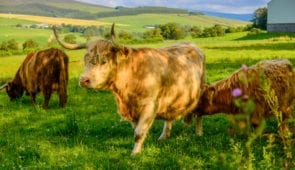 Highland cows on the Spey