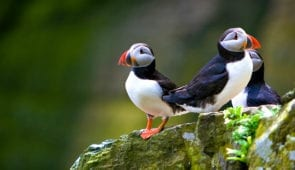 Puffins on the Orkney Isles