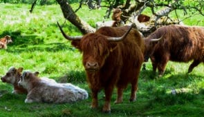 Highland cows on the Rob Roy Way