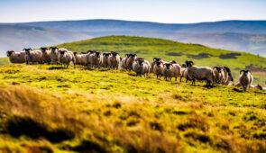Sheep near Jedburgh, Scottish Borders