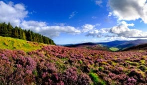 Blooming heather in the Wicklow Mountains