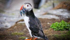Farne Island Puffin (Credit - Rodney Burr)