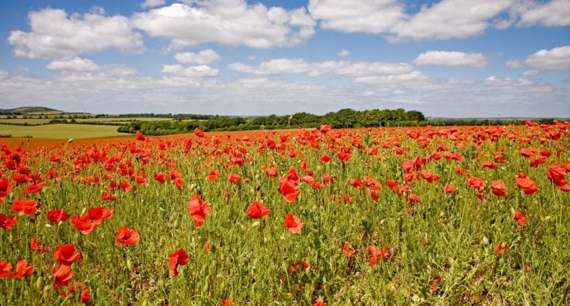 Poppies and Ivinghoe Beacon
