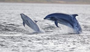 Jumping dolpins in the Moray Firth