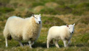 Sheep in Pembrokeshires Coast National Park