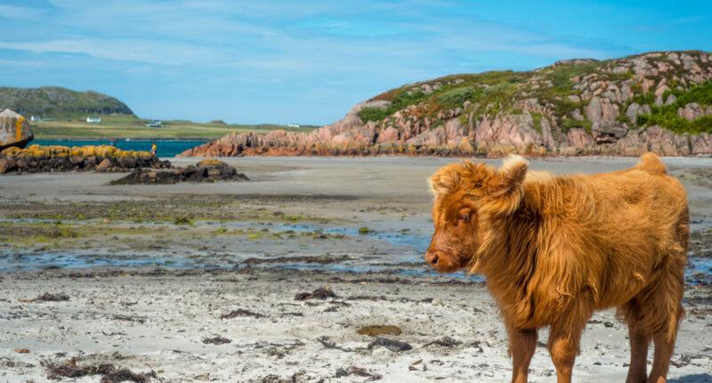 Baby highland cattle on Isle of Mull