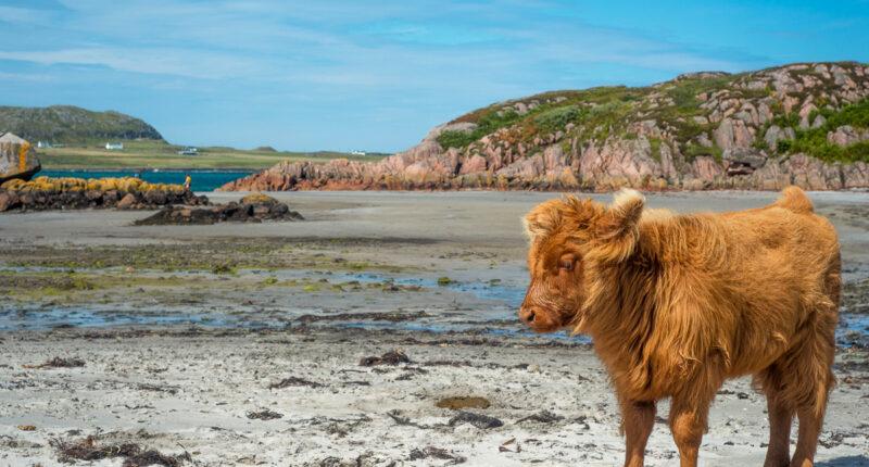 Baby highland cattle, Isle of Mull