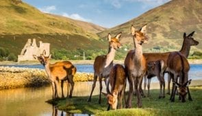 Deer at Lochranza Castle, Arran