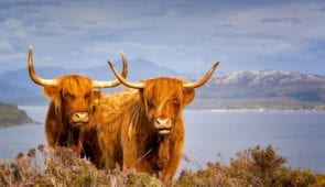 Highland cows on the Isle of Skye