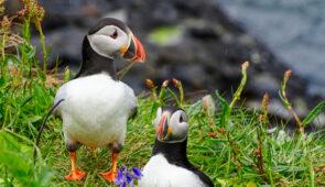 Isle of Staffa Puffins