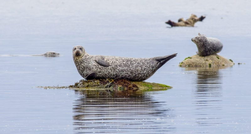 Seals on the Isle of Arran
