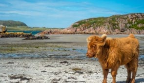 Baby highland cattle on Isle of Mull