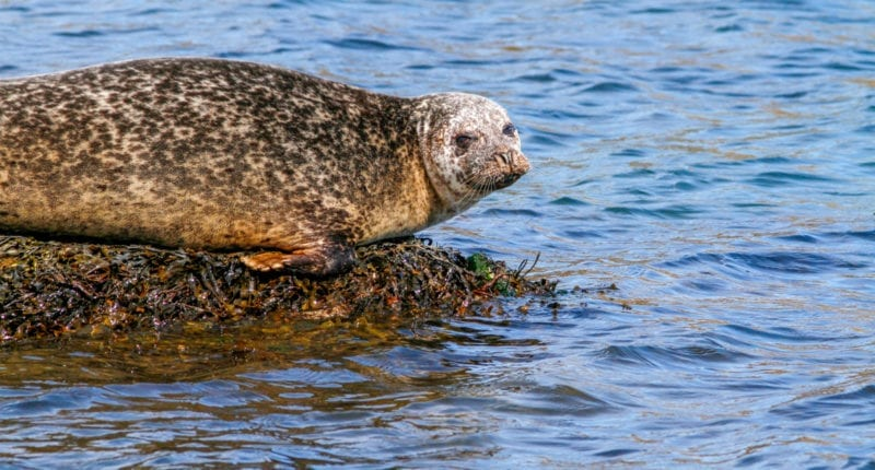 A seal in Loch Flodabay