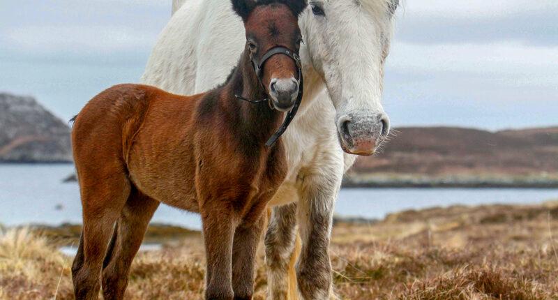 Eriskay Ponies, South Uist