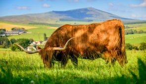 Highland Cow in Speyside