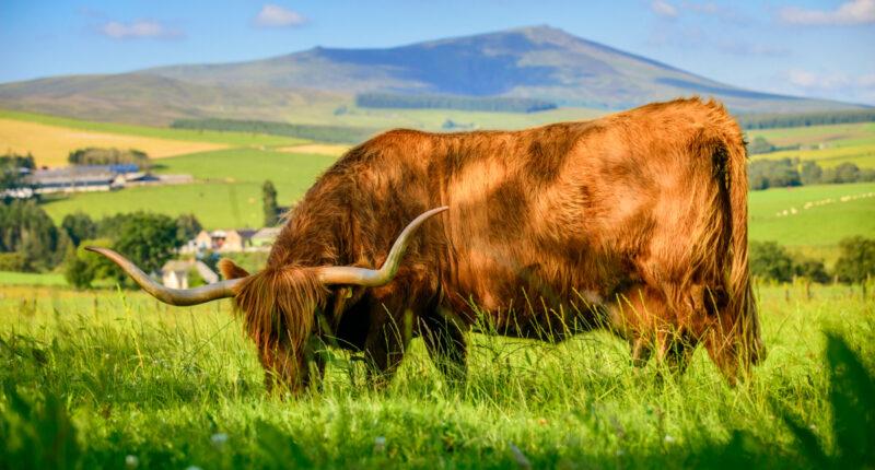 Highland Cow in Speyside