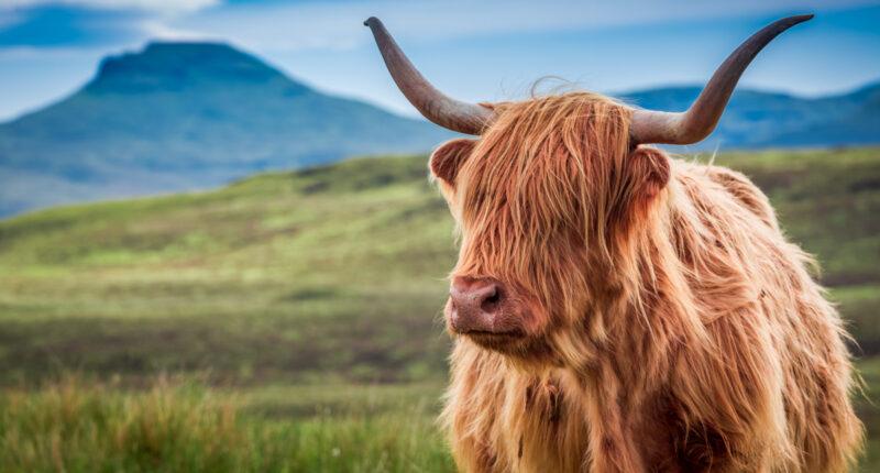 Furry highland cow on the Isle of Skye, Scotland