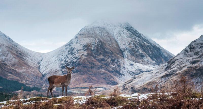 Deer in Glen Etive, Scottish Highlands