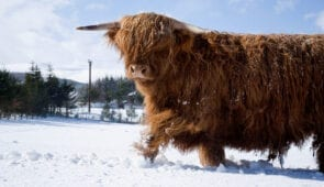 A Highland cow in a snowy field