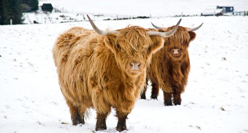 Scottish Highland Cows