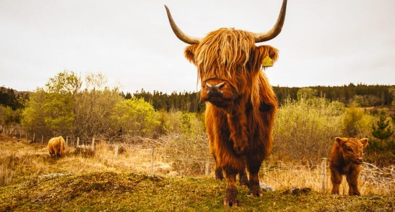 Highland Cow in Applecross