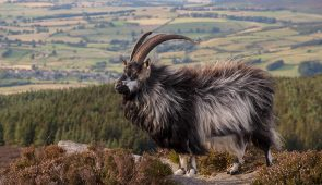 A Cheviot Goat on the summit of Simonside