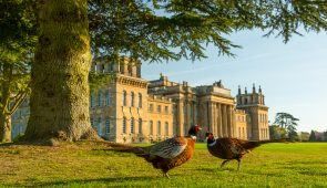 Pheasants at Blenheim Palace