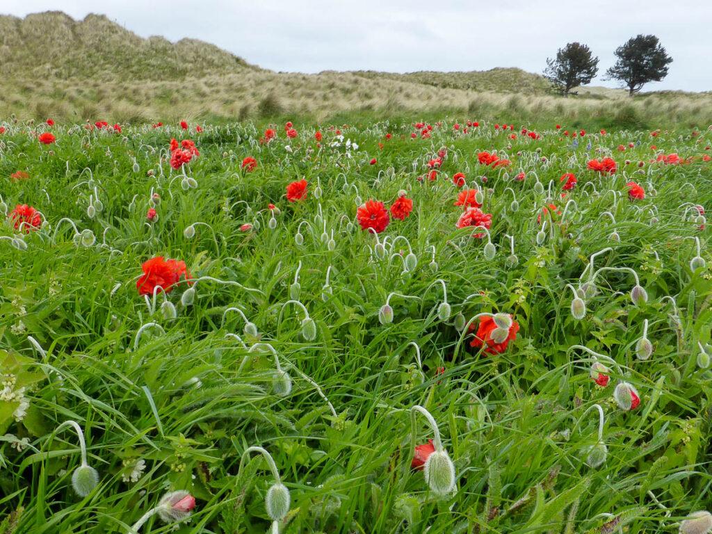 Poppyfield in the dunes, Bamburgh